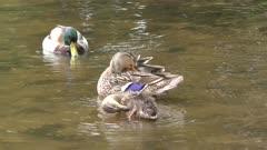 Mallard duck family in a pond