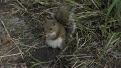 squirrel on the ground eating seeds in Florida wetlands