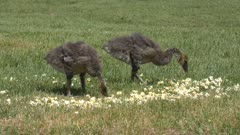 two young goslings feed on popcorn