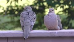 mourning doves (Zenaida macroura) resting