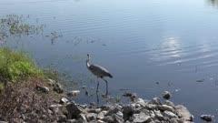 Great Blue Heron near lake
