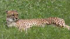 Cheetah resting on green grass
