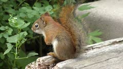 Small Red Squirrel