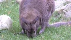 bennets wallaby feeding