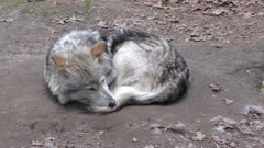 Mexican Wolf resting