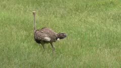 ostrich walking in the green grass