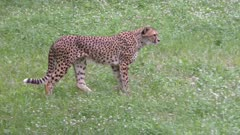 Cheetah walking in a field