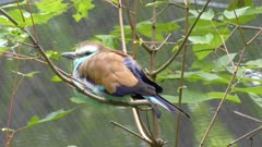 Racket Tailed Roller perching