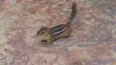 Chipmunk looking around