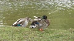 Two Mallard ducks near Lake