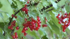 red currant in the garden after rain