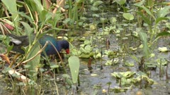 purple gallinule in Florida wetlands