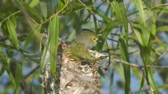 White-eyed Vireo in a nest
