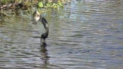 anhinga feeding on fish