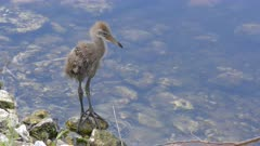 Limpkin chick in a pond