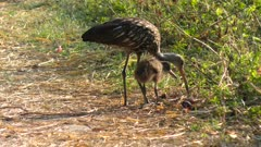 Limpkins in Florida Wetlands