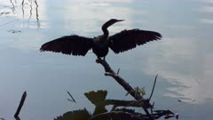 Anhinga perching at sunset