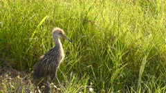 Baby Limpkin in Florida Wetlands