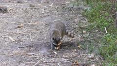 wild raccoon looking for turtle eggs
