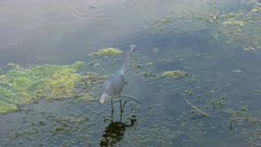Little Blue Heron fishing in Florida wetlands
