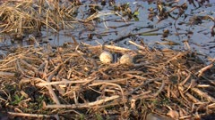 Sandhill Crane eggs  in a nest