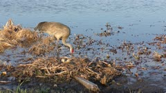 Sandhill Crane in a nest