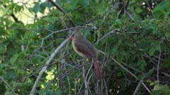 Northern Cardinal eating bugs