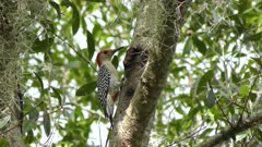 Red-Bellied Woodpecker feeds on insects