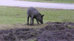 young wild hog digging dirt near rural road