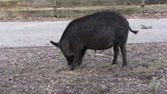 wild hog female feeds in Florida park