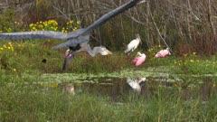 wading birds in Florida wetlands