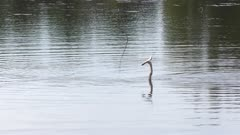 anhinga swims with a fish