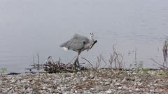 great blue heron with a fish near lake