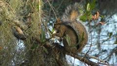 squirrel feeds on mushroom in Florida woods