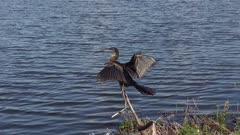 anhinga perching near water