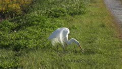 Great Egret with a large catfish