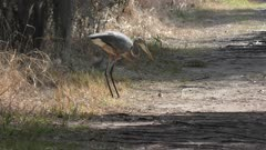 great blue heron feeds on a fish