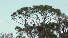 American Bald Eagle pair mating near nest