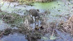 limpkin feeds its chick in Florida wetlands