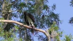 osprey feeds on its prey in Florida wetlands