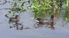 Common Gallinule feeds its chick in Florida pond