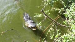alligator feeds on catfish in Florida lake