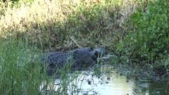 alligator eating a large softshell turtle in Florida wetlands