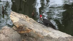 Pileated Woodpecker feeds in Florida wetlands