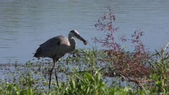 great blue heron feeds on crayfish in Florida wetlands