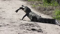 alligator feeds on a large fish on a trail in Florida wetlands