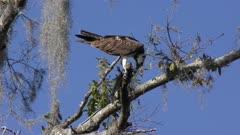 osprey feeds on fish in Florida wetlands