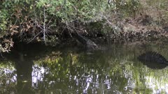 large alligator hits water with a loud splash in Florida canal