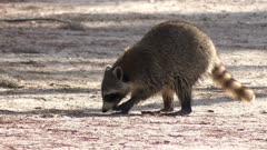 raccoon looking for food in Florida park