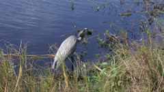 Great Blue Heron feeds on fish in Florida wetlands